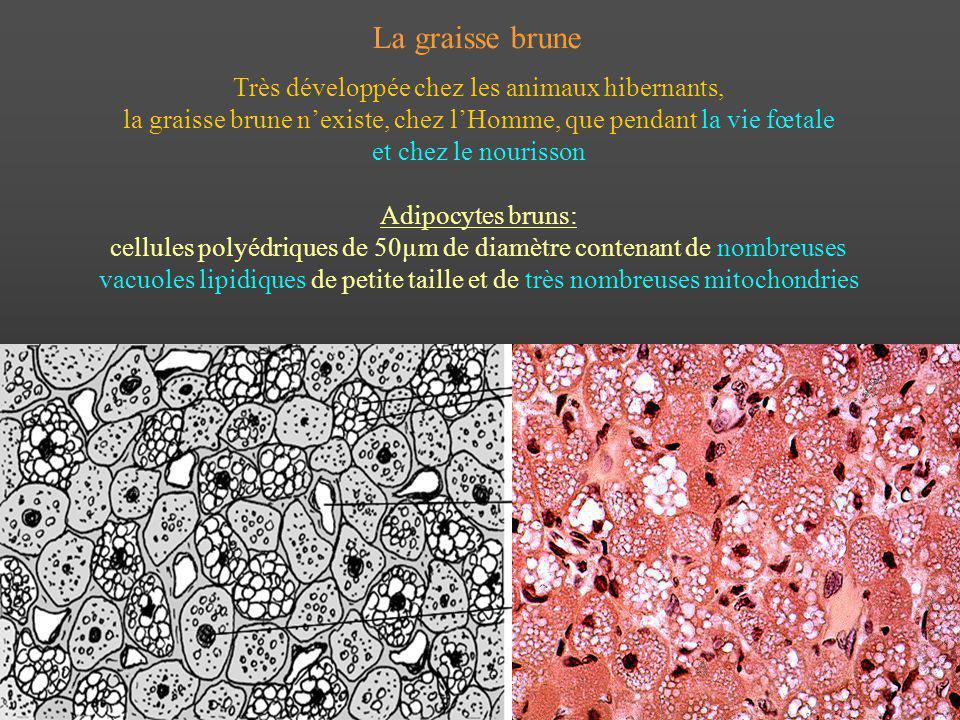 La graisse brune Très développée chez les animaux hibernants, la graisse brune nexiste, chez lHomme, que pendant la vie fœtale et chez le nourisson Ad
