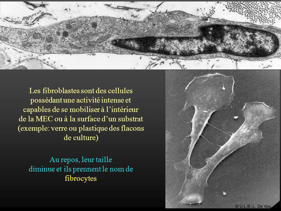 Les fibroblastes sont des cellules possédant une activité intense et capables de se mobiliser à lintérieur de la MEC ou à la surface dun substrat (exe