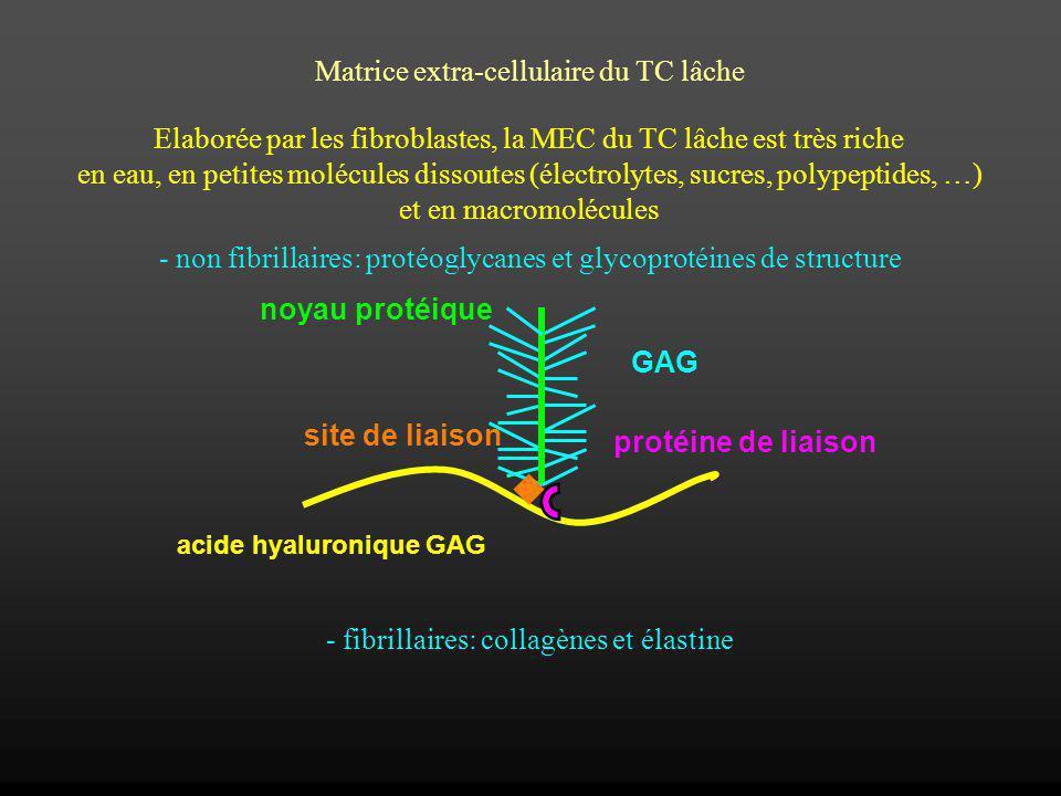 Les collagènes: superfamille de protéines (~30) réparties en 8 groupes Dans les tissus conjonctifs, le collagène de type I est les plus commun et possède un aspect caractéristique en ME lié à ses modes de synthèse et dassemblage