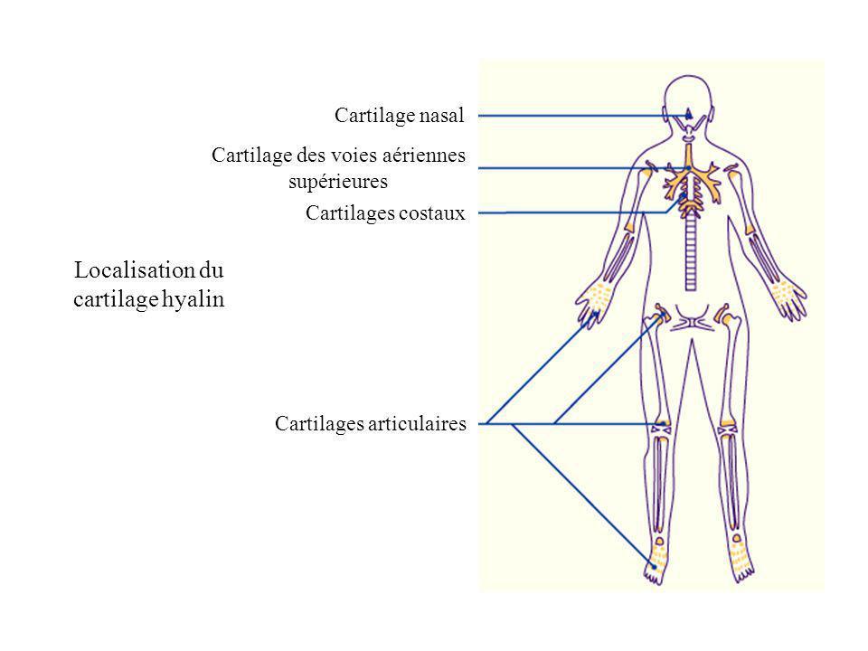 Cartilage nasal Cartilages costaux Cartilage des voies aériennes supérieures Cartilages articulaires Localisation du cartilage hyalin