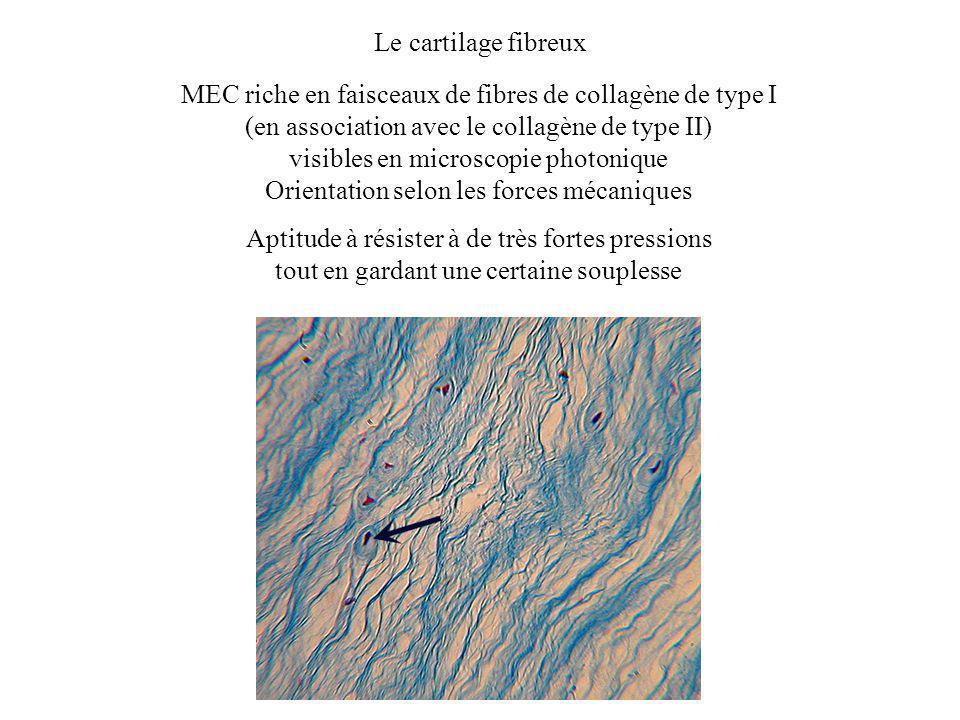 Le cartilage fibreux MEC riche en faisceaux de fibres de collagène de type I (en association avec le collagène de type II) visibles en microscopie pho