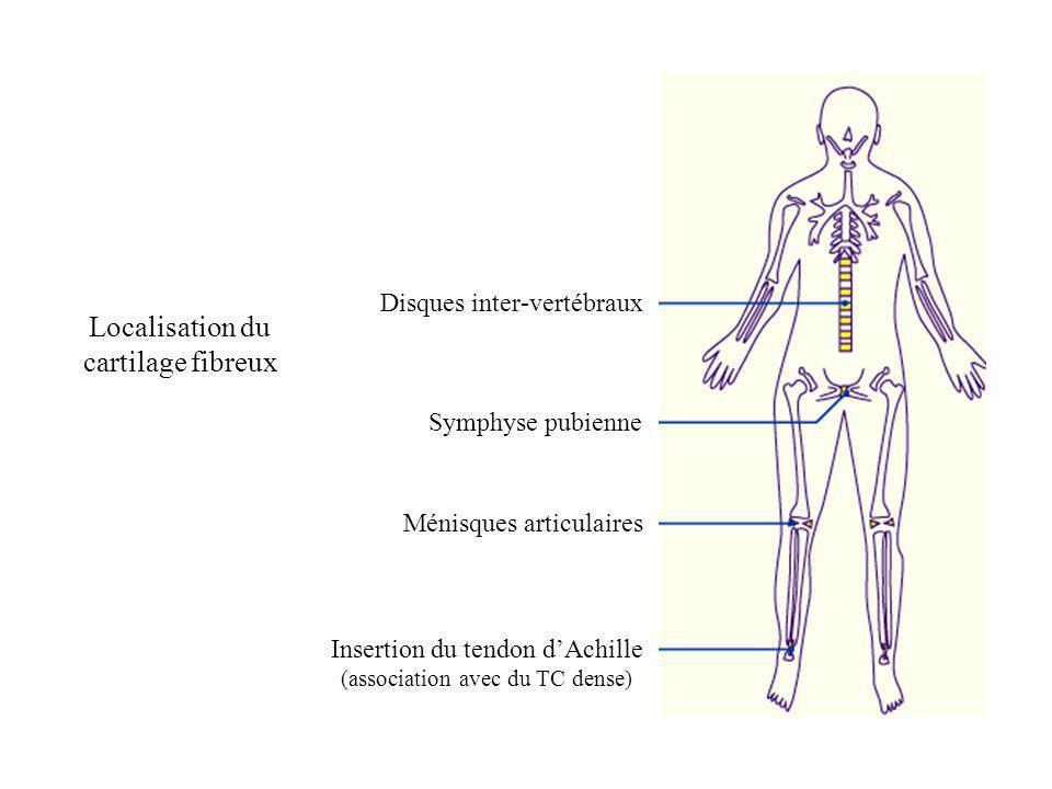 Disques inter-vertébraux Symphyse pubienne Ménisques articulaires Insertion du tendon dAchille (association avec du TC dense) Localisation du cartilag