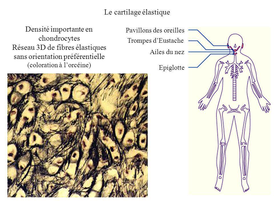 Le cartilage élastique Pavillons des oreilles Epiglotte Ailes du nez Trompes dEustache Densité importante en chondrocytes Réseau 3D de fibres élastiqu