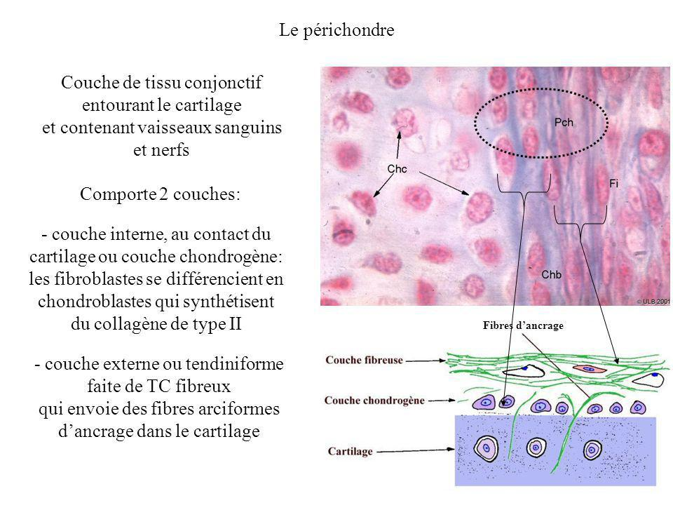 Le périchondre Couche de tissu conjonctif entourant le cartilage et contenant vaisseaux sanguins et nerfs Comporte 2 couches: Fibres dancrage - couche