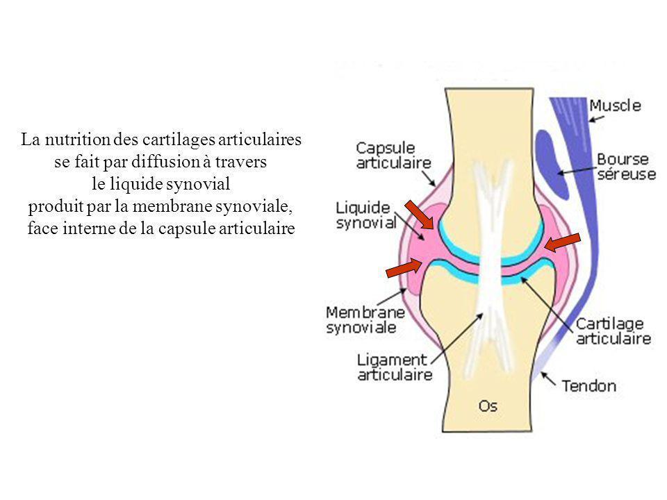 La nutrition des cartilages articulaires se fait par diffusion à travers le liquide synovial produit par la membrane synoviale, face interne de la cap