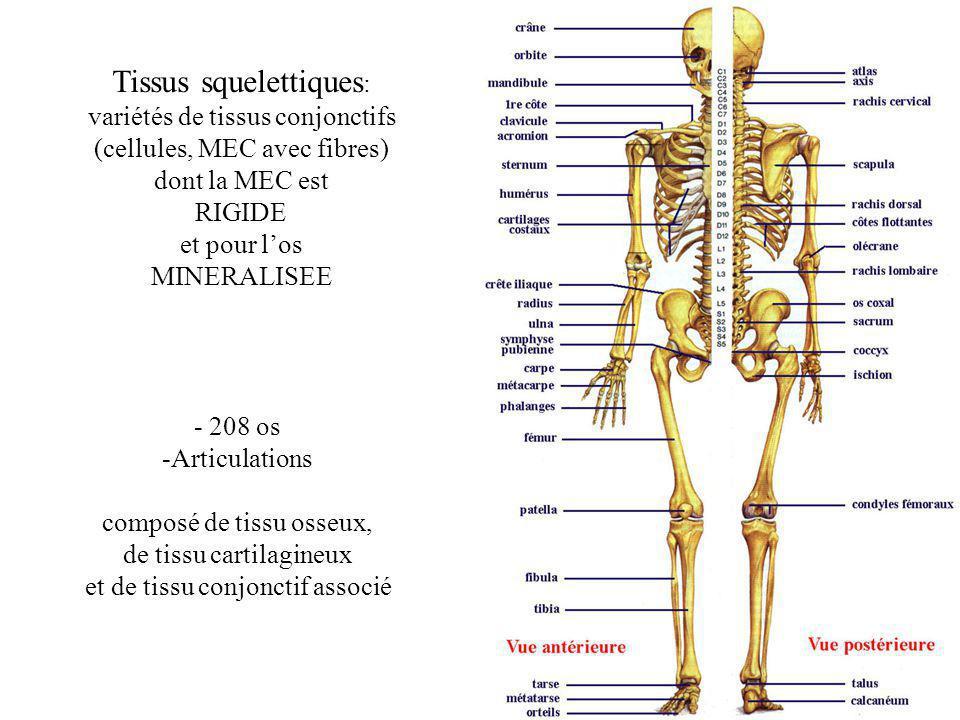 Tissus squelettiques : variétés de tissus conjonctifs (cellules, MEC avec fibres) dont la MEC est RIGIDE et pour los MINERALISEE Le squelette : - 208