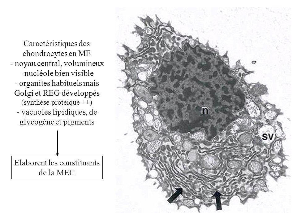 Caractéristiques des chondrocytes en ME - noyau central, volumineux - nucléole bien visible - organites habituels mais Golgi et REG développés (synthè