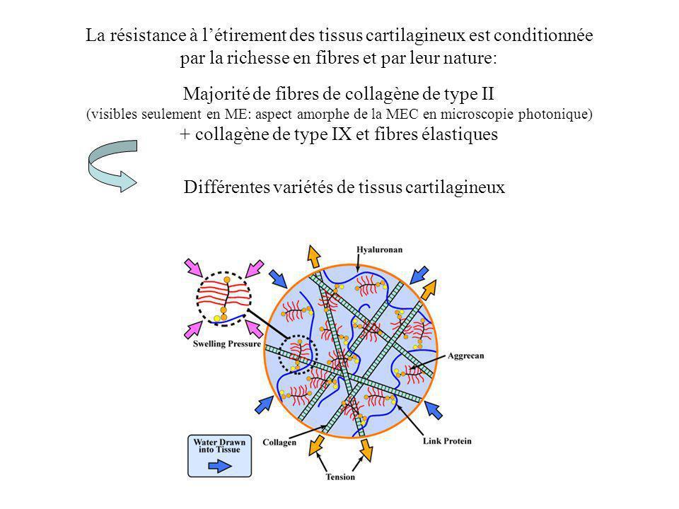 La résistance à létirement des tissus cartilagineux est conditionnée par la richesse en fibres et par leur nature: Majorité de fibres de collagène de