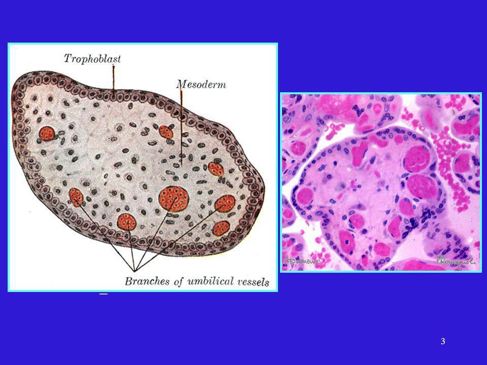 4 Zone Nucléée Zone de synthèse Golgi, REG, mitochondries, lysosomes images de phagocytose et grains de secrétion Zone Anucléée Zone déchanges Tuchmann