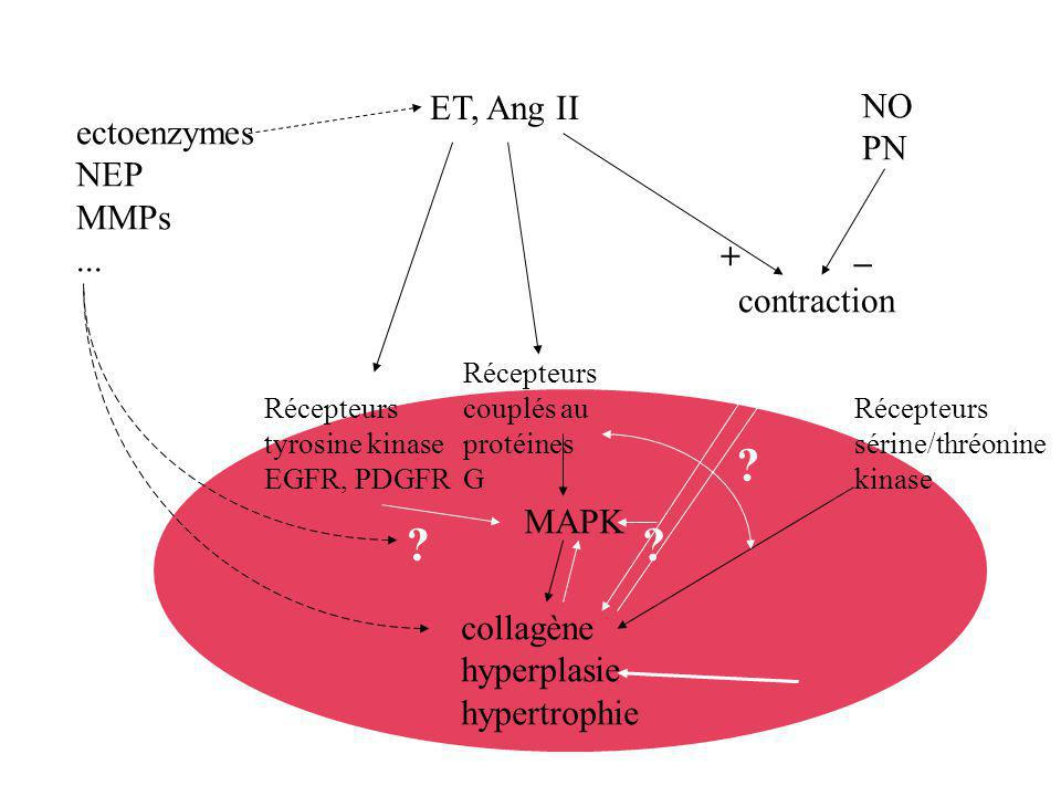collagène hyperplasie hypertrophie MAPK contraction NO PN ET, Ang II Récepteurs tyrosine kinase EGFR, PDGFR ectoenzymes NEP MMPs... Récepteurs couplés