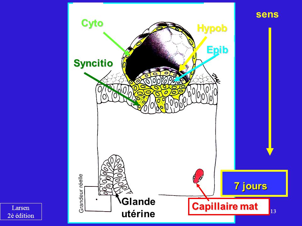 13 Cyto Syncitio Hypob Epib Glande utérine Capillaire mat 7 jours sens Larsen 2è édition