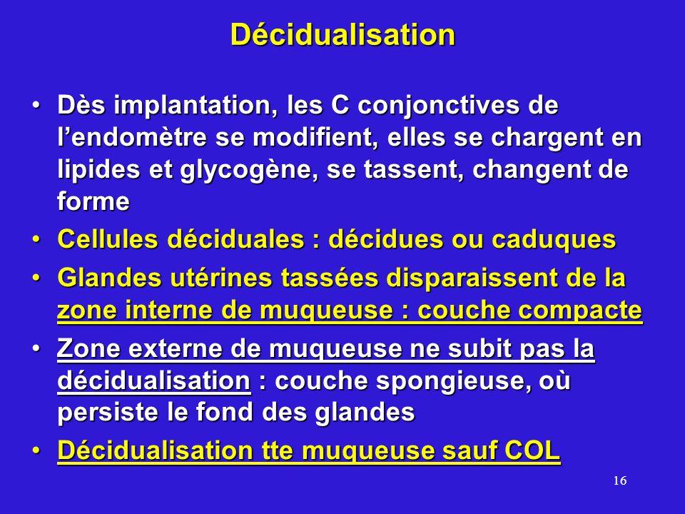 16 Décidualisation Dès implantation, les C conjonctives de lendomètre se modifient, elles se chargent en lipides et glycogène, se tassent, changent de