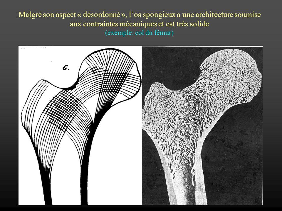 Malgré son aspect « désordonné », los spongieux a une architecture soumise aux contraintes mécaniques et est très solide (exemple: col du fémur)