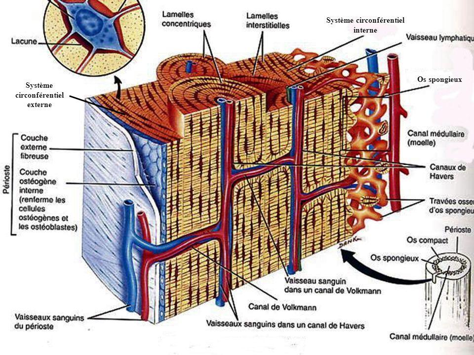 Système circonférentiel externe Système circonférentiel interne Os spongieux