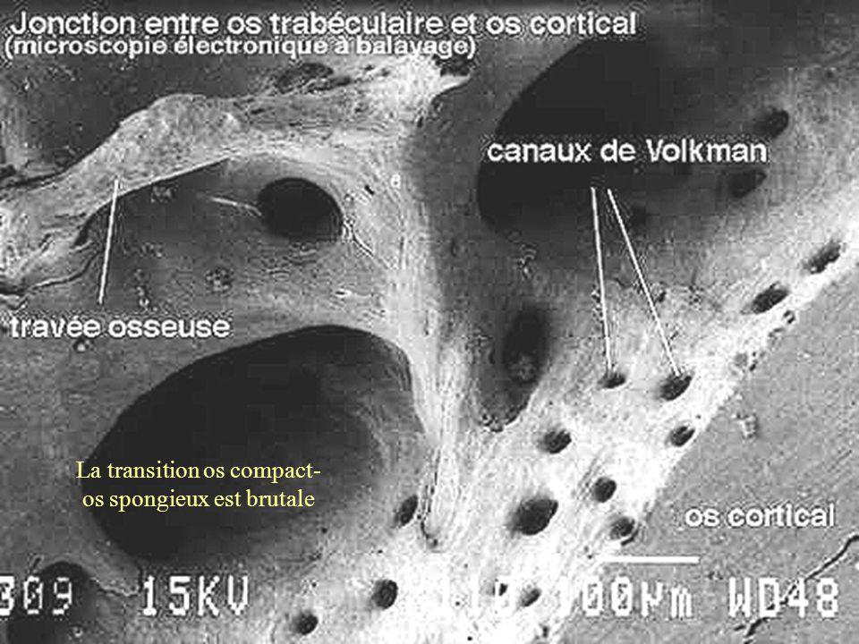 La transition os compact- os spongieux est brutale