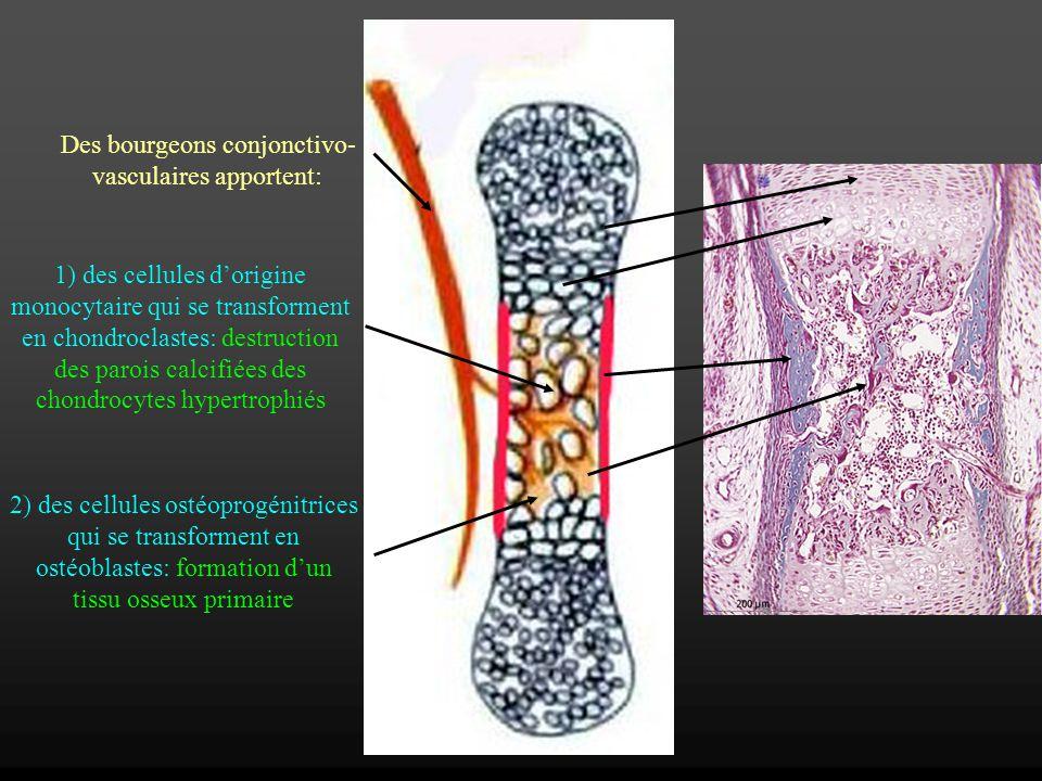 Des bourgeons conjonctivo- vasculaires apportent: 1) des cellules dorigine monocytaire qui se transforment en chondroclastes: destruction des parois c