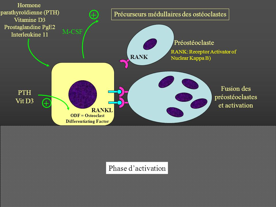 Précurseurs médullaires des ostéoclastes M-CSF + Hormone parathyroïdienne (PTH) Vitamine D3 Prostaglandine PgE2 Interleukine 11 Phase dactivation RANKL ODF = Osteoclast Differentiating Factor Fusion des préostéoclastes et activation PTH Vit D3 + RANK Préostéoclaste RANK: Receptor Activator of Nuclear Kappa B)
