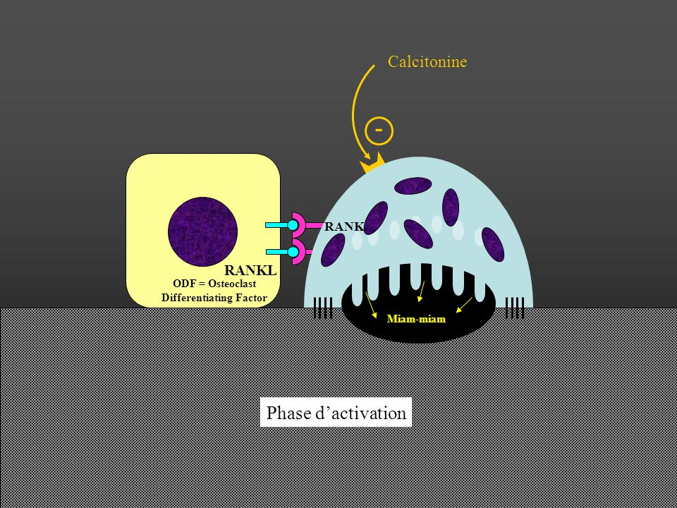 Phase dactivation RANKL ODF = Osteoclast Differentiating Factor RANK Miam-miam Calcitonine -