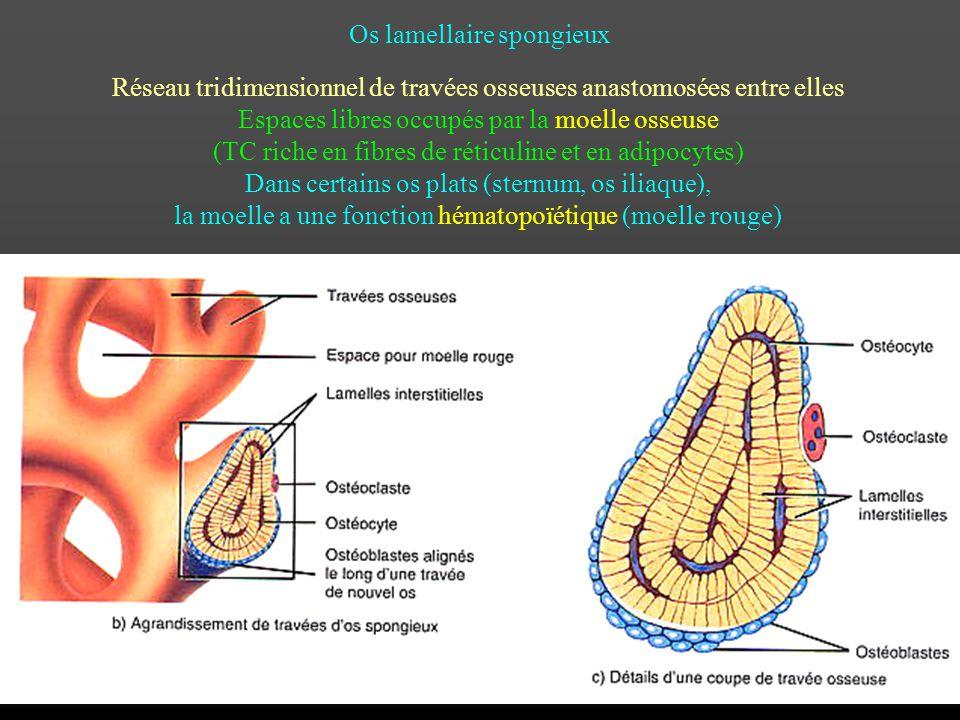 Os lamellaire spongieux Réseau tridimensionnel de travées osseuses anastomosées entre elles Espaces libres occupés par la moelle osseuse (TC riche en
