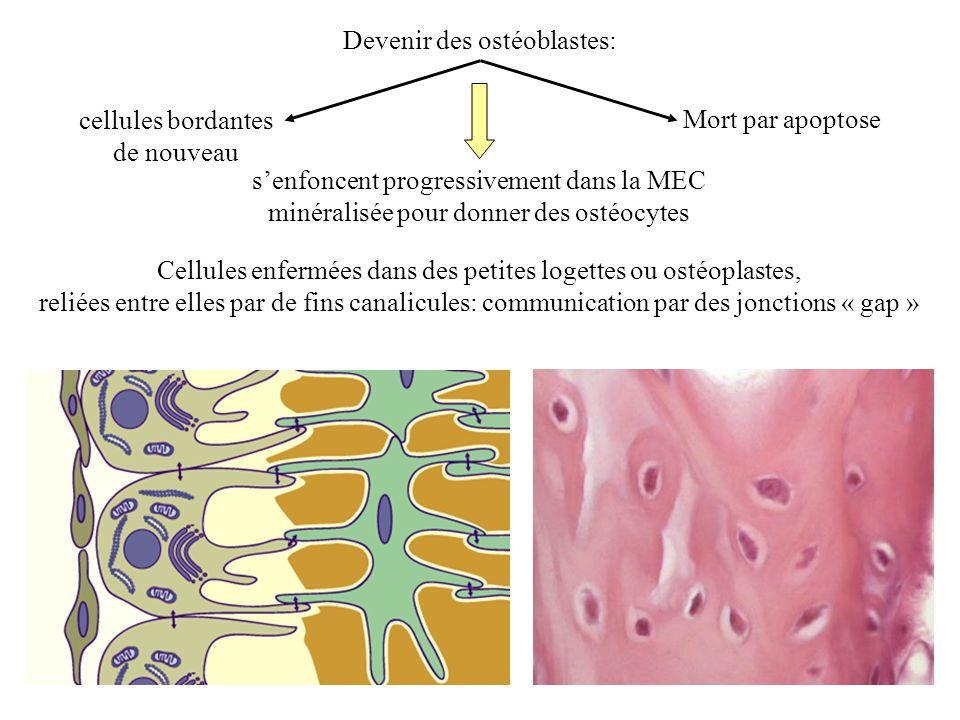 Devenir des ostéoblastes: cellules bordantes de nouveau Mort par apoptose senfoncent progressivement dans la MEC minéralisée pour donner des ostéocyte