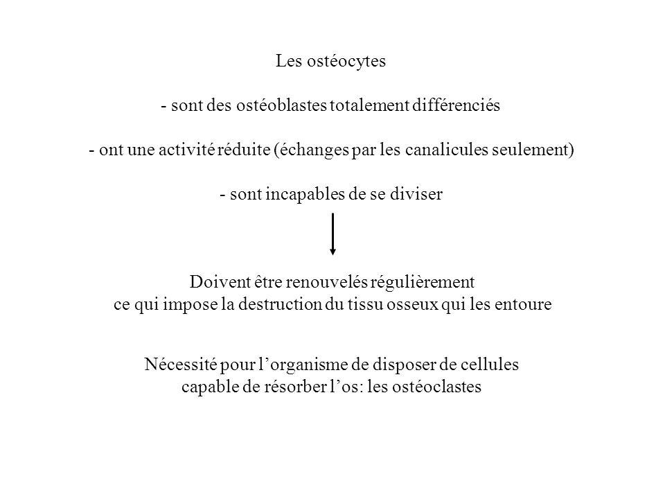 Les ostéocytes - sont des ostéoblastes totalement différenciés - ont une activité réduite (échanges par les canalicules seulement) - sont incapables d
