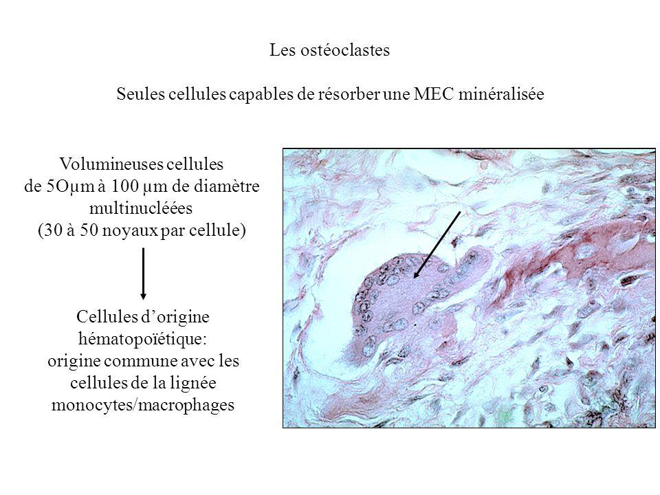 Les ostéoclastes Seules cellules capables de résorber une MEC minéralisée Volumineuses cellules de 5Oµm à 100 µm de diamètre multinucléées (30 à 50 no