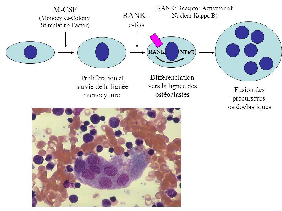 Prolifération et survie de la lignée monocytaire M-CSF (Monocytes-Colony Stimulating Factor) RANKL c-fos Fusion des précurseurs ostéoclastiques NFκB D