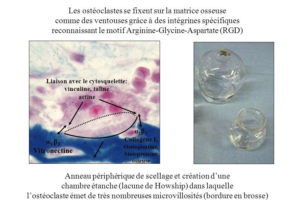 Les ostéoclastes se fixent sur la matrice osseuse comme des ventouses grâce à des intégrines spécifiques reconnaissant le motif Arginine-Glycine-Aspar