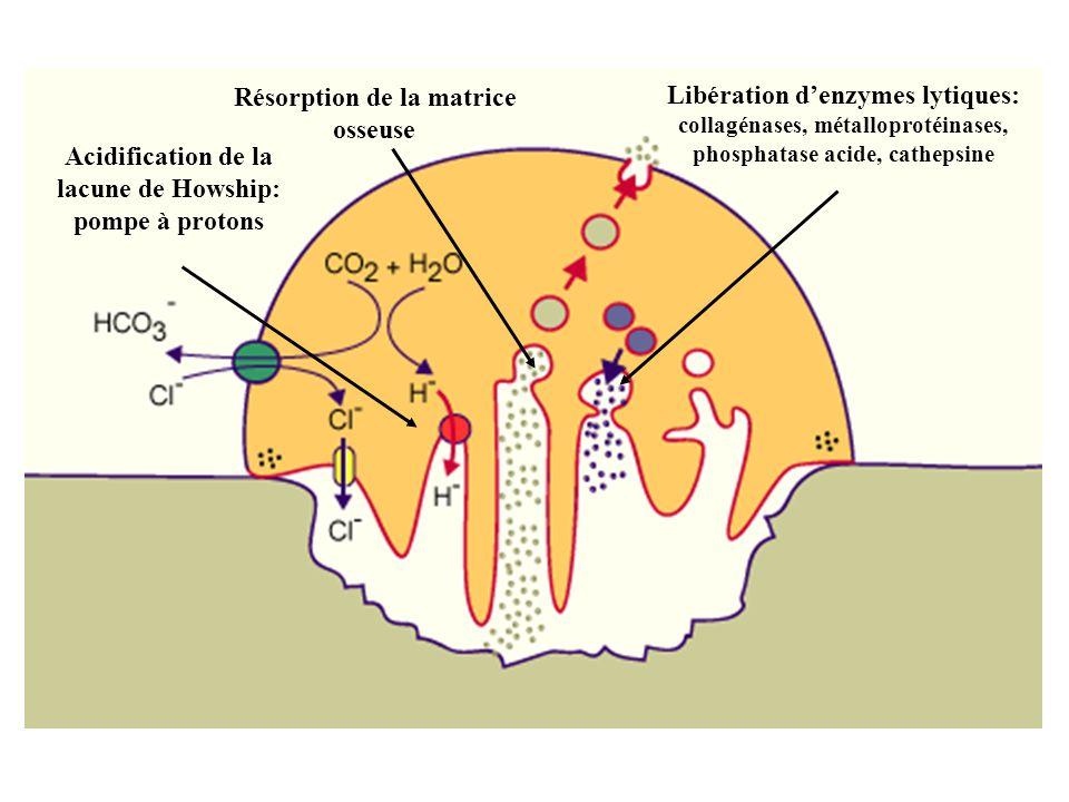 Acidification de la lacune de Howship: pompe à protons Libération denzymes lytiques: collagénases, métalloprotéinases, phosphatase acide, cathepsine R