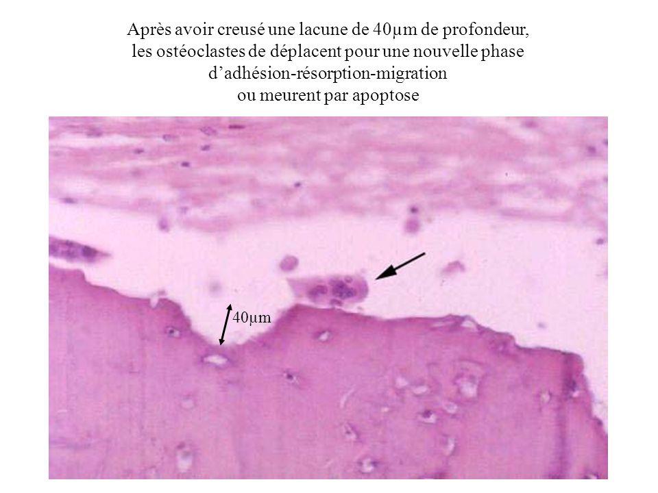 40µm Après avoir creusé une lacune de 40µm de profondeur, les ostéoclastes de déplacent pour une nouvelle phase dadhésion-résorption-migration ou meur
