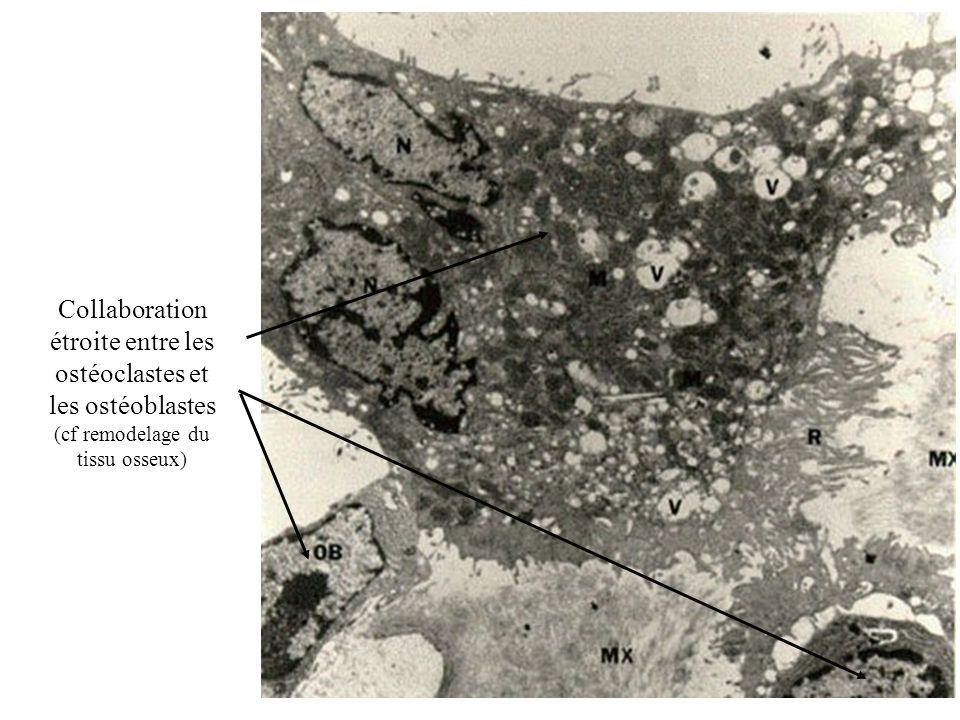 Collaboration étroite entre les ostéoclastes et les ostéoblastes (cf remodelage du tissu osseux)