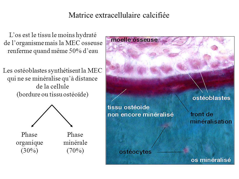 Matrice extracellulaire calcifiée Los est le tissu le moins hydraté de lorganisme mais la MEC osseuse renferme quand même 50% deau Les ostéoblastes sy