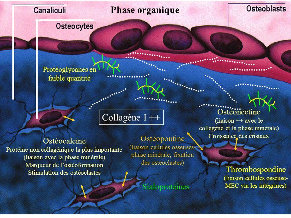 Collagène I ++ Phase organique Protéoglycanes en faible quantité Ostéopontine (liaison cellules osseuses- phase minérale, fixation des ostéoclastes) O
