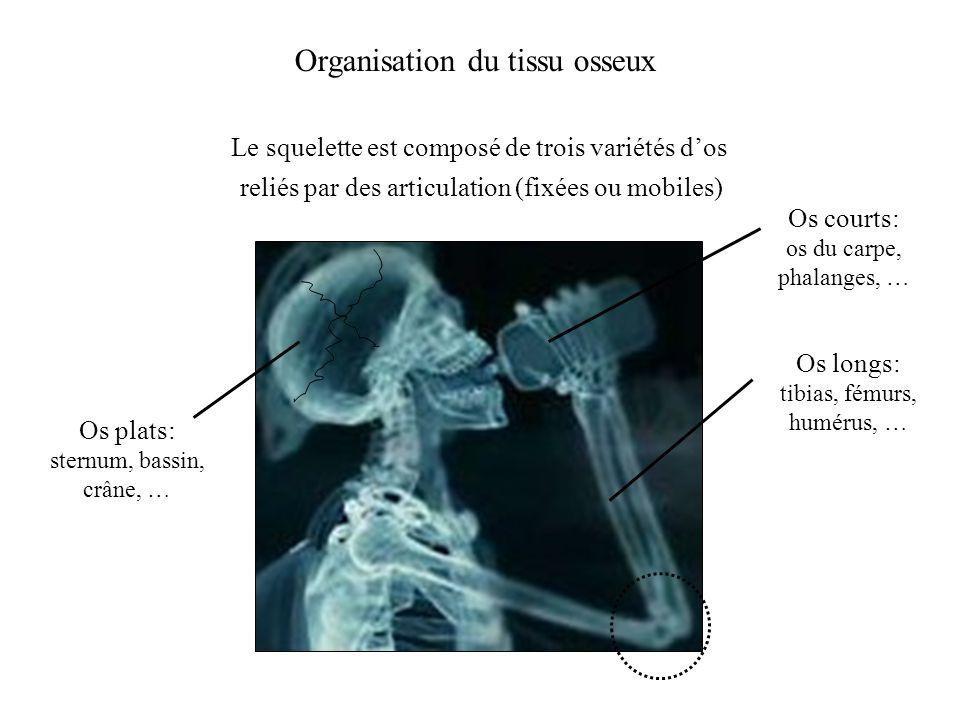 Organisation du tissu osseux Le squelette est composé de trois variétés dos Os longs: tibias, fémurs, humérus, … Os courts: os du carpe, phalanges, …