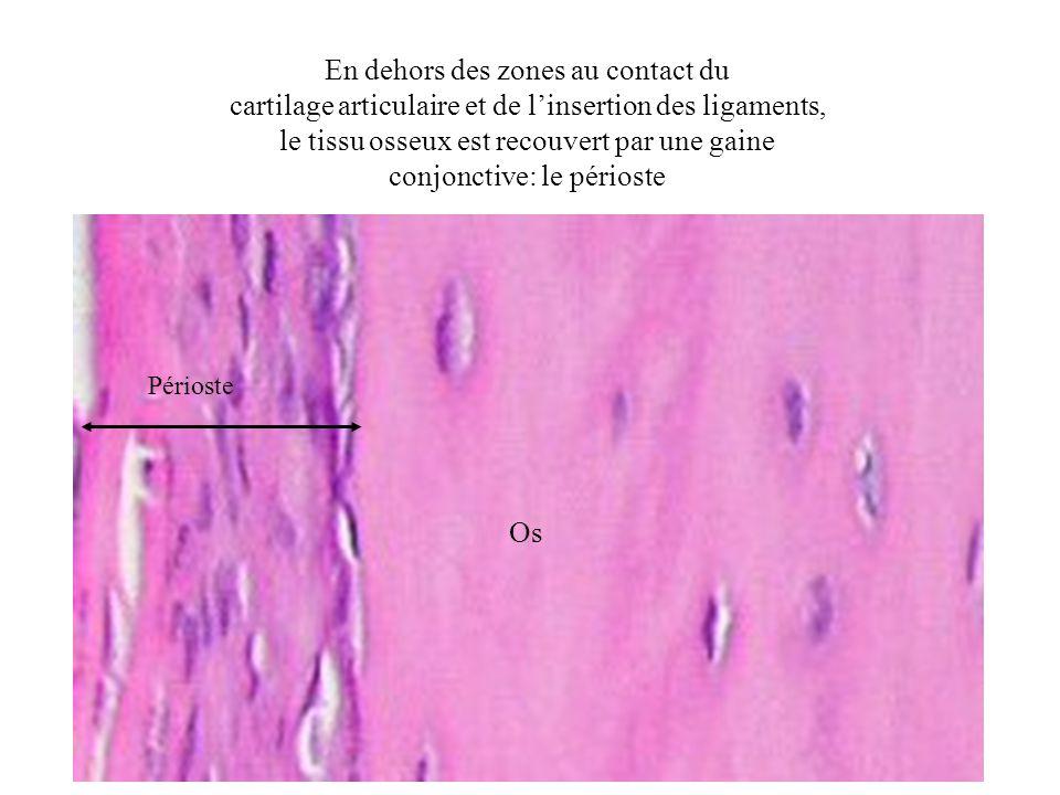 En dehors des zones au contact du cartilage articulaire et de linsertion des ligaments, le tissu osseux est recouvert par une gaine conjonctive: le pé
