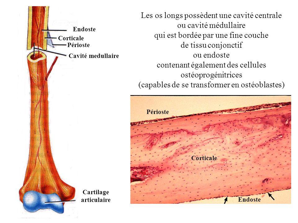 Cavité medullaire Périoste Cartilage articulaire Endoste Corticale Les os longs possèdent une cavité centrale ou cavité médullaire qui est bordée par