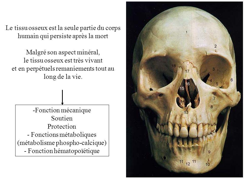 -Fonction mécanique Soutien Protection - Fonctions métaboliques (métabolisme phospho-calcique) - Fonction hématopoïétique Le tissu osseux est la seule