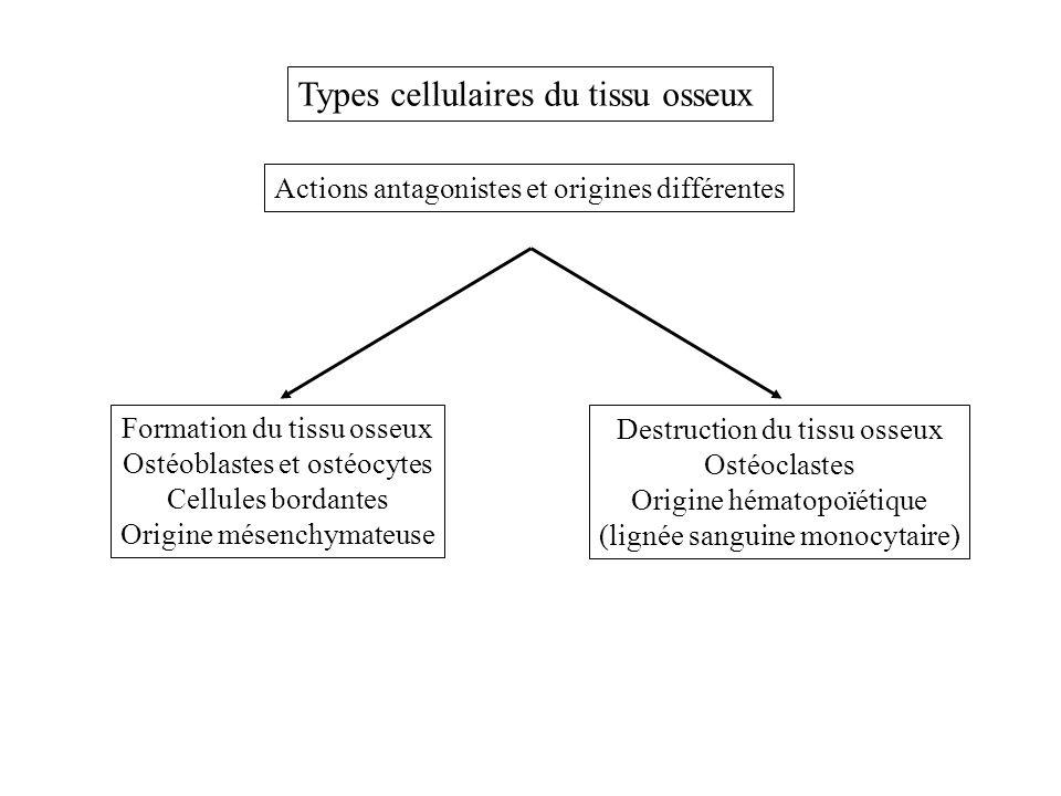 Cellules ostéoformatrices Des cellules souches à potentialité ostéoformatrice existent chez ladulte au niveau de la moelle osseuse et sont à lorigine dun lignage de cellules impliquées dans la formation du tissu osseux Cellules bordantes (au repos) Ostéocytes (entièrement inclus dans le tissu osseux) Ostéoblastes (MEC osseuse) Activation Os TC