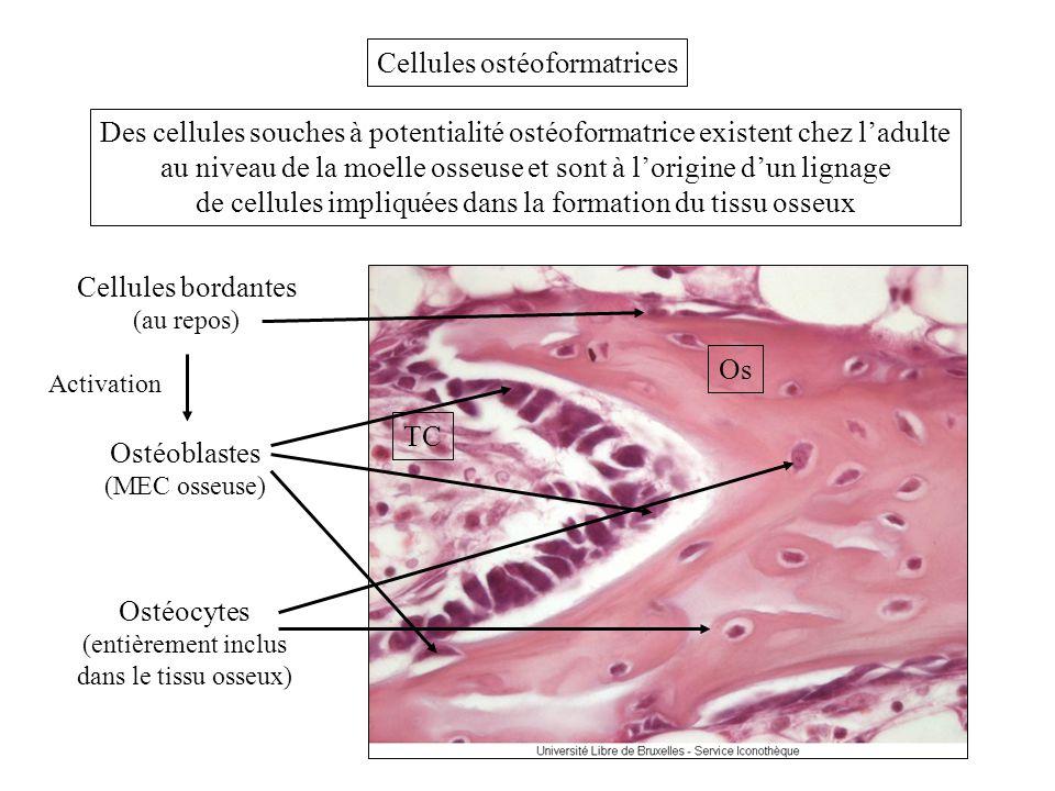 Cellules ostéoformatrices Des cellules souches à potentialité ostéoformatrice existent chez ladulte au niveau de la moelle osseuse et sont à lorigine