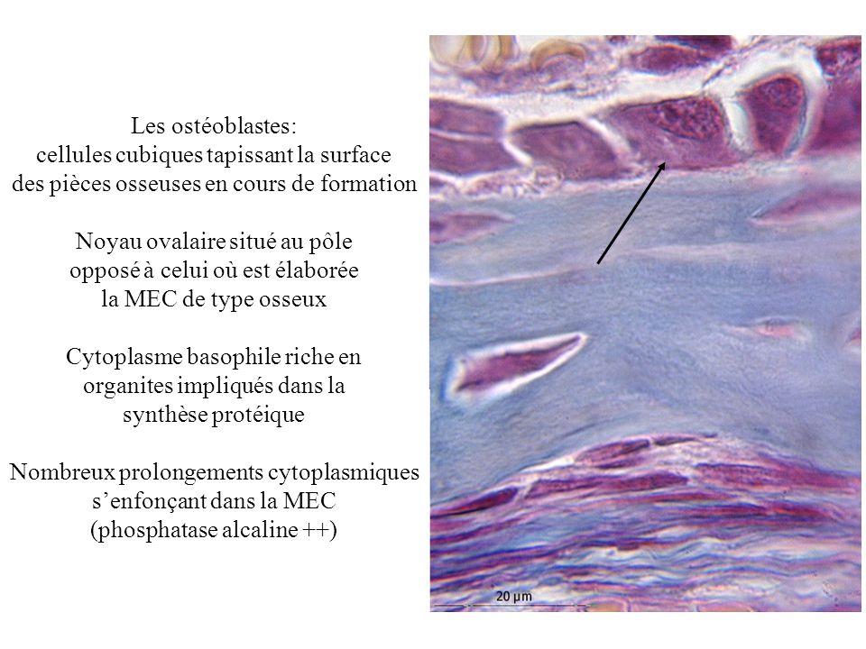 Les ostéoblastes communiquent entre eux et avec les ostéocytes par des jonctions communicantes (Gap) Ils synthétisent une MEC riche en fibres de collagène de type I qui ne se minéralise quà distance de la cellule (bordure ostéoïde)