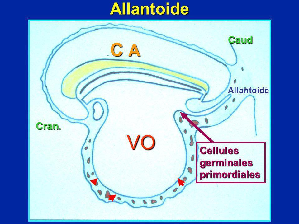 VO C A Cran. Caud Allantoide Cellules germinales primordiales Allantoide