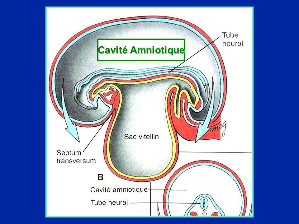 Cavité Amniotique