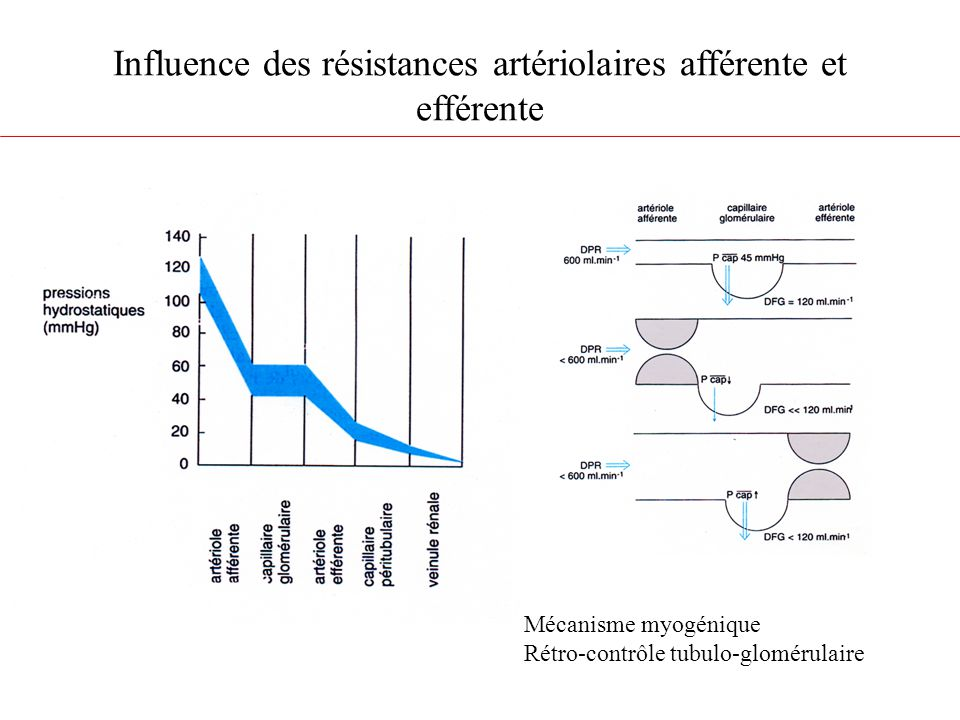 Influence des résistances artériolaires afférente et efférente Mécanisme myogénique Rétro-contrôle tubulo-glomérulaire
