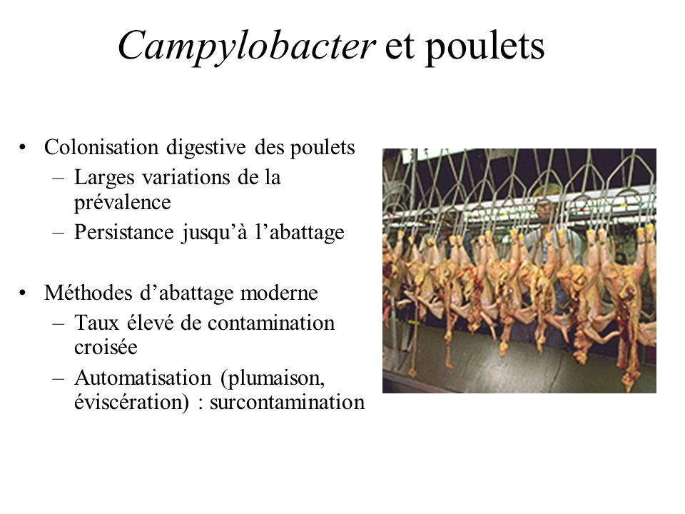 Campylobacter et poulets Colonisation digestive des poulets –Larges variations de la prévalence –Persistance jusquà labattage Méthodes dabattage moderne –Taux élevé de contamination croisée –Automatisation (plumaison, éviscération) : surcontamination