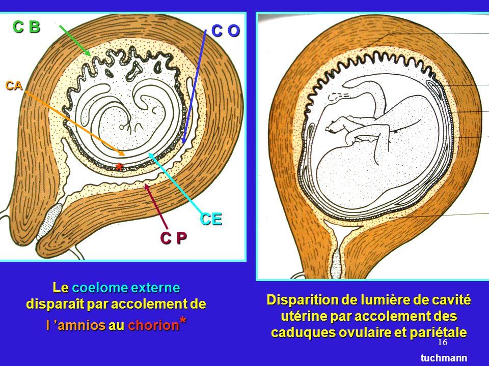 16 CBC BCBC B C P C O CA CE tuchmann Disparition de lumière de cavité utérine par accolement des caduques ovulaire et pariétale Le coelome externe disparaît par accolement de l amnios au chorion * *
