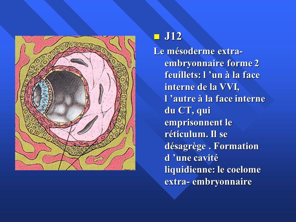 J12 J12 Le mésoderme extra- embryonnaire forme 2 feuillets: l un à la face interne de la VVI, l autre à la face interne du CT, qui emprisonnent le rét