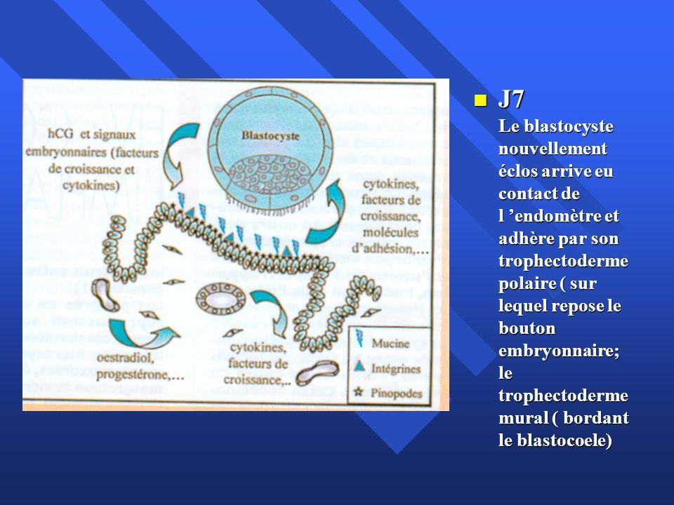 J7 Le blastocyste nouvellement éclos arrive eu contact de l endomètre et adhère par son trophectoderme polaire ( sur lequel repose le bouton embryonna