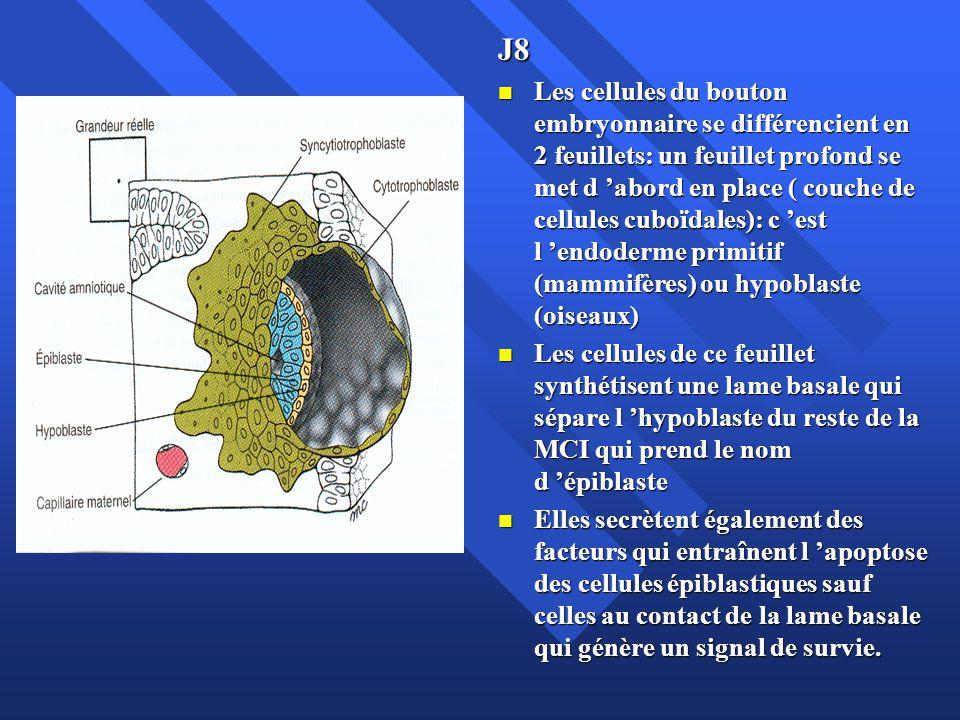 J8 Les cellules du bouton embryonnaire se différencient en 2 feuillets: un feuillet profond se met d abord en place ( couche de cellules cuboïdales):