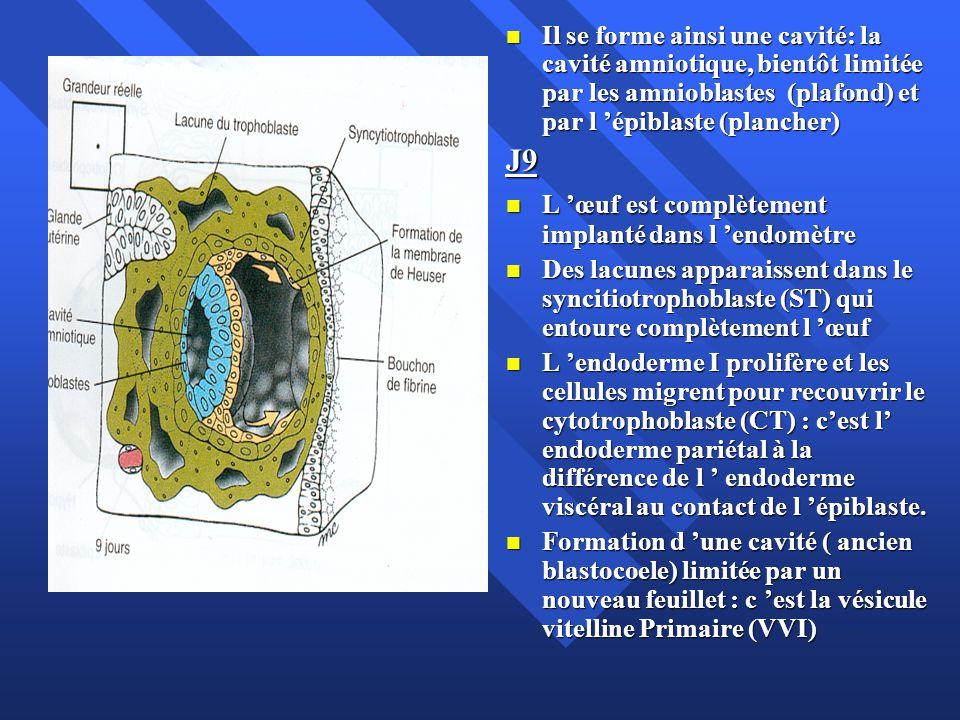 Il se forme ainsi une cavité: la cavité amniotique, bientôt limitée par les amnioblastes (plafond) et par l épiblaste (plancher) Il se forme ainsi une