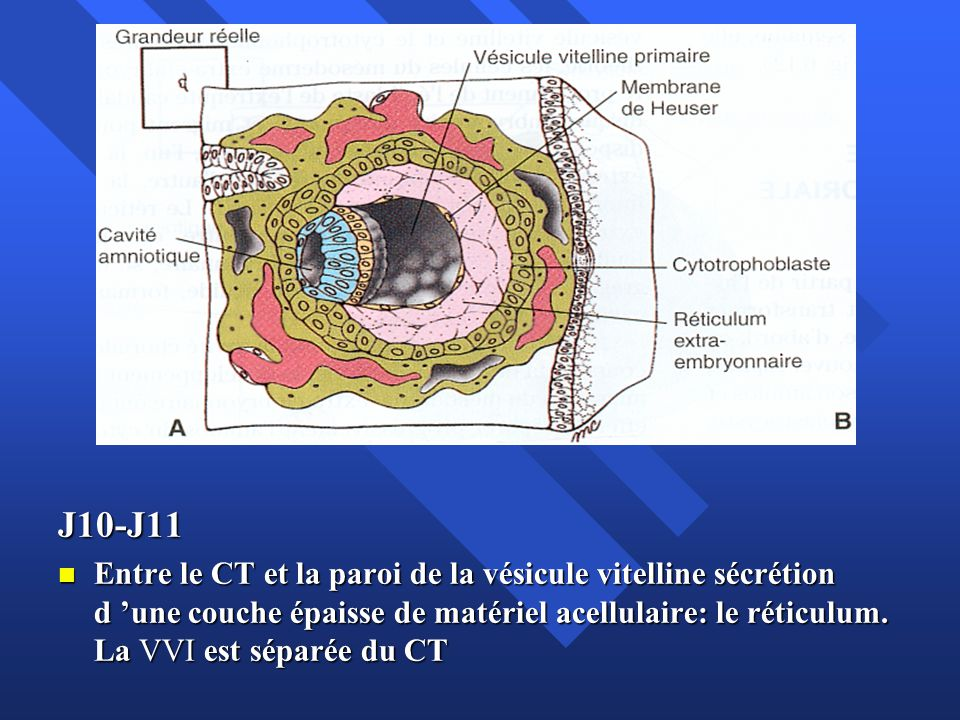 J10-J11 Entre le CT et la paroi de la vésicule vitelline sécrétion d une couche épaisse de matériel acellulaire: le réticulum. La VVI est séparée du C